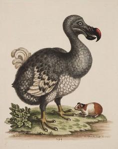 Om te zien hoe groot een dodo nou was, een cavia ter referentie