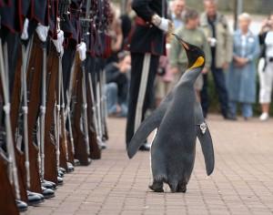 Nils-Olav inspecteert de troepen...(author: Mark Owens)